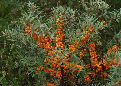 Arbuste argousier bio fruit antioxydant naturel puissant