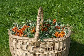Récolte dans les cultures d'argouses biologiques