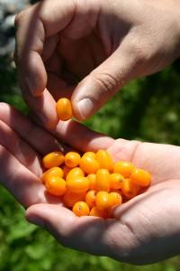 Le fruit riche en béta-carotène de l'argousier bio