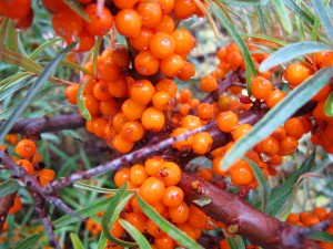 Fruit argouse riche en vitamine, excellent complément alimentaire